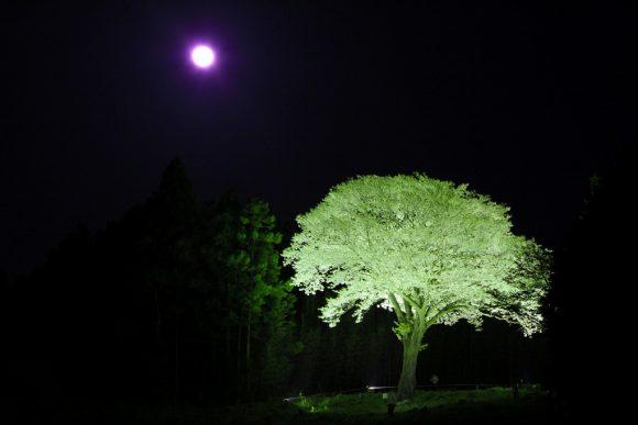 """""""Moonlight Sakura"""" -must to see it before you die ! –"""
