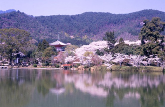 Daikakuji temple (famous place of Cherry blossom )