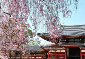 World Heritage Byodoin temple  (famous place of Cherry blossom )