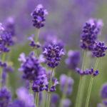 "Lavender aroma's ""Brain rejuvenation"" effect!"