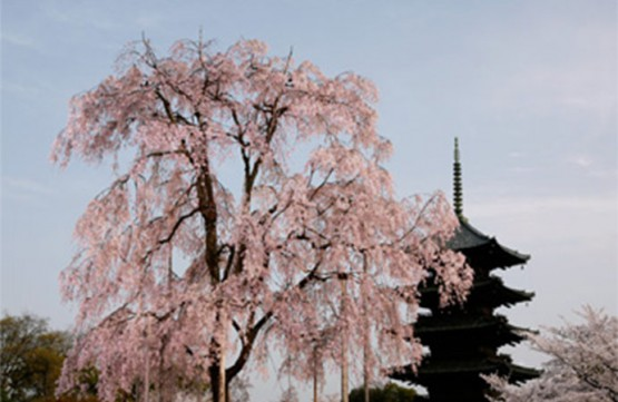 Toji temple in Kyoto (famous place of Cherry blossom )